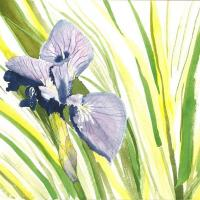 Watercolor of iris flower.  This painting is currently accepted at the North Valley national juried art show.  High quality thermal prints available. Price is for unframed print.  Contact Stephen at troutguy5@gmail.com or through form here.