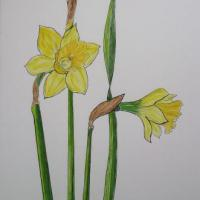 Botanical Watercolour of Daffodils painted on Fabriano