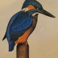 A Kingfisher sitting on a Bull Rush.